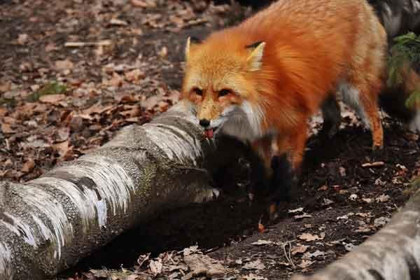 Staupe bei Fuchs in Nordfriesland festgestellt – Hunde schützen