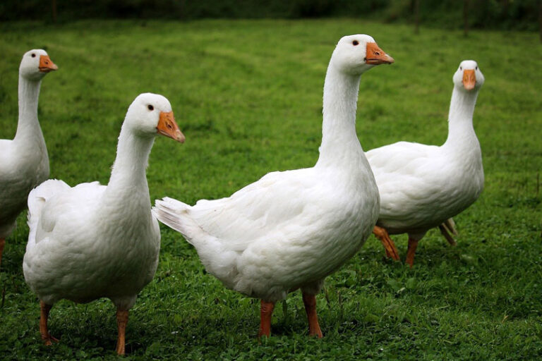 Kreis Nordfriesland: Geflügelpest in Nutztierbestand festgestellt. 1000 Tiere betroffen