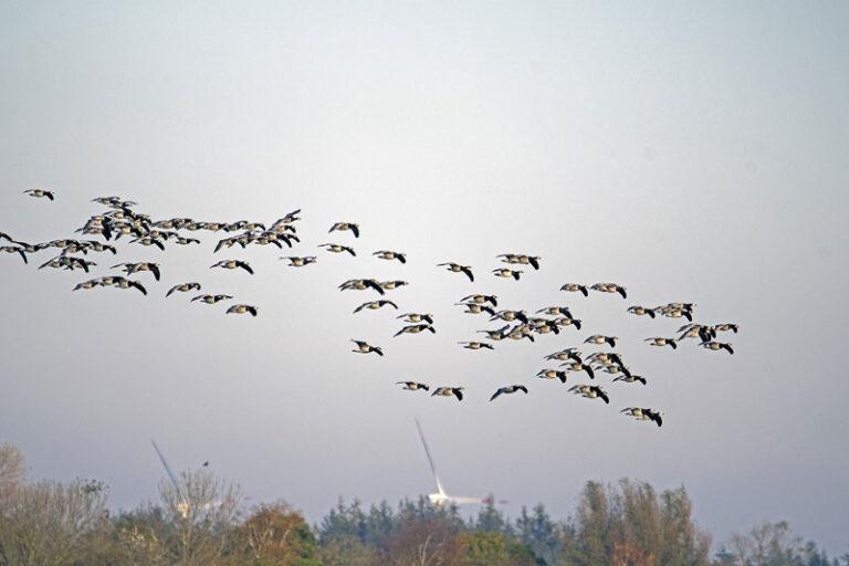 Geflügelpest in Nordfriesland:  Kreisweites Aufstallungsgebot ab Montag