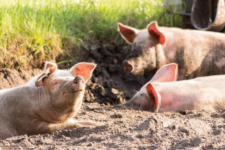 Nordfriesland: Schweinepest erfordert extreme Vorsichtsmaßnahmen bei der Bergung von Tieren